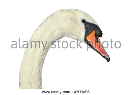 Mute Swan - Cygnus olor. - Stock Photo