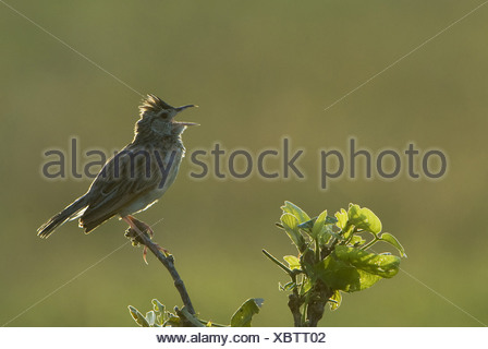 Rufous-naped Lark (Mirafra africana) adult male, in courtship call, backlit, Savuti, Chobe N.P., Botswana, summer - Stock Photo