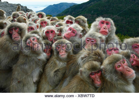 Japanese macaques (Macaca fuscata) huddling together for warmth on a cold day, Shodoshima, Japan - Stock Photo