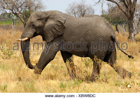 Young running African Elephant, Loxodonta africana, East Africa - Stock Photo