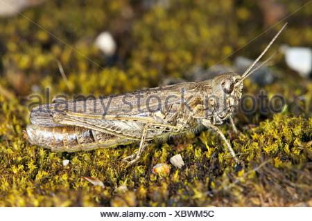 Chorthippus brunneus, Common Field Grashopper - Stock Photo