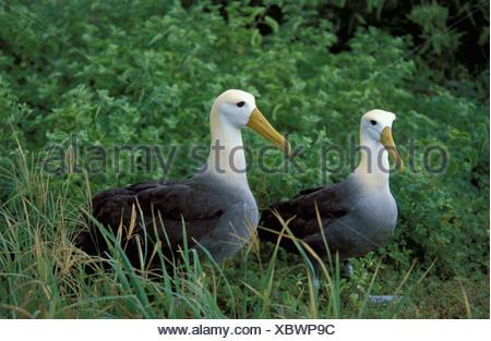 Waved Albatross Diomedea irrorata Espagnola Island Galapagos - Stock Photo