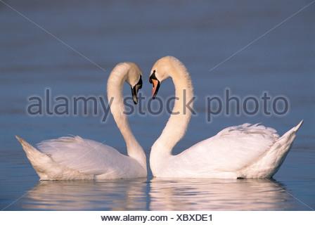 Mute Swans in water - heart / Cygnus olor - Stock Photo
