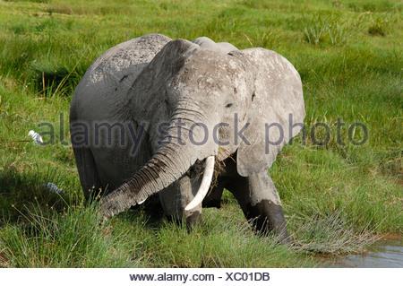 African Bush Elephant (Loxodonta africana), Amboseli National Park, Kenya, Africa - Stock Photo