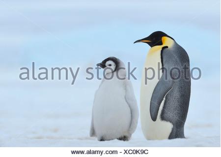 Emperor penguin (Aptenodytes forsteri), adult with chick, Antarctica, Snow Hill Island - Stock Photo