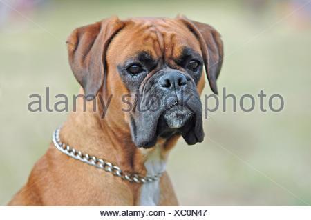 Boxer Portrait - Stock Photo