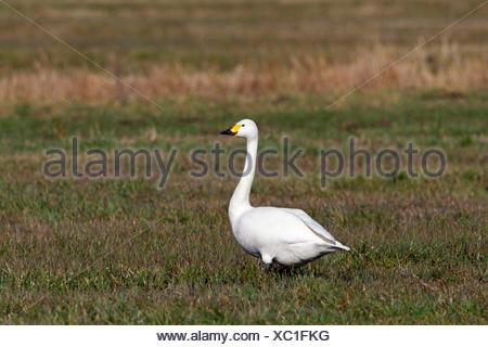 Bewick's Swan, Tundra Swan (Cygnus bewickii, Cygnus columbianus bewickii) standing on a meadow. Germany - Stock Photo