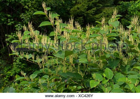 Japanese Knotweed (Fallopia japonica, Reynoutria japonica), blooming, Germany - Stock Photo