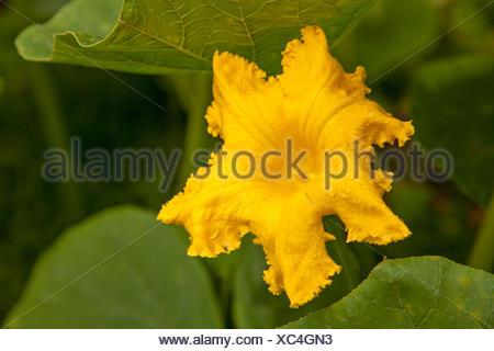 Winter squash (Cucurbita maxima), yellow blossom of a red kuri squash - Stock Photo