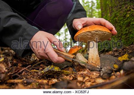 Red-capped scaber stalk,  Red-cap boletus, Orange-cap Boletus, Red Capped Scaber Stalk (Leccinum leucopodium, Leccinum rufum, Leccinum aurantiacum), two fruiting bodies being harvested, Germany, Rhineland-Palatinate - Stock Photo