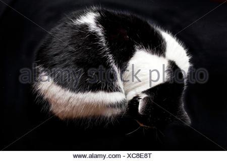 Hauskatze, Haus-Katze (Felis silvestris f. catus), zusammengerollte schwarzweisse Hauskatze | domestic cat, house cat (Felis sil - Stock Photo
