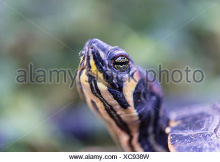 Florida Redbelly Turtle (Pseudemys nelsoni), native to Florida - Stock Photo