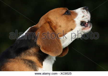 Beagle Portrait - Stock Photo