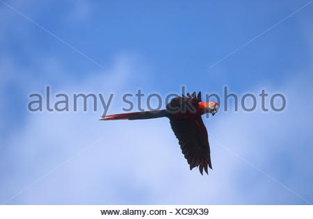 scarlet macaw (Ara macao), flying, Costa Rica - Stock Photo