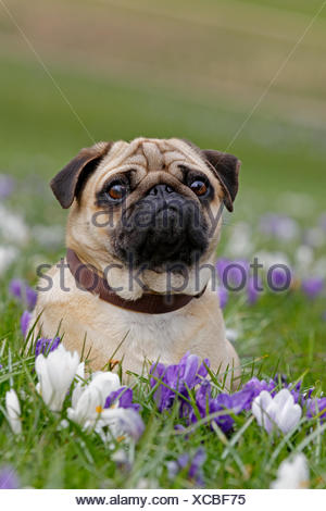 Pug in meadow with crocuses, Schleswig-Holstein, Germany - Stock Photo