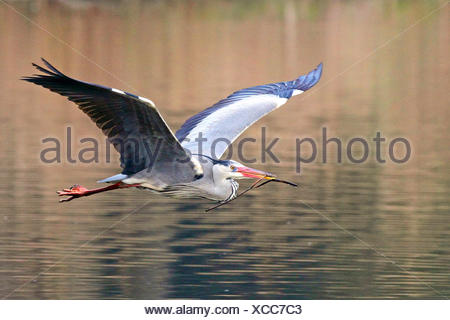 grey heron (Ardea cinerea), in flight, Germany - Stock Photo