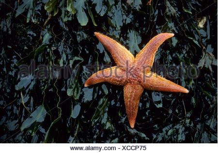 common starfish, common European seastar (Asterias rubens), on sea weed, Germany, Schleswig-Holstein, Baltic Sea - Stock Photo
