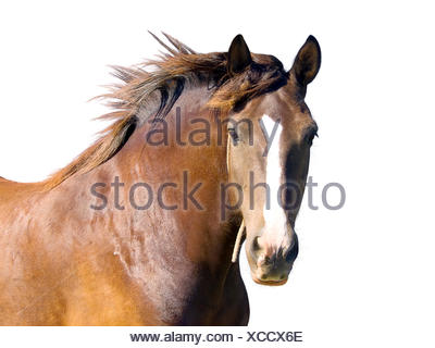 An isolated image of brown horse - Stock Photo
