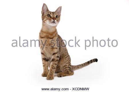 sitzende Ocicat / sitting Ocicat - Stock Photo