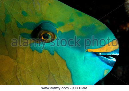 Bicolour parrotfish (Cetoscarus bicolor) sleeping at night Red Sea. - Stock Photo