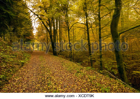 view along a straight path through an mixed forest covered with autumn foliage, Germany, Rhineland-Palatinate - Stock Photo
