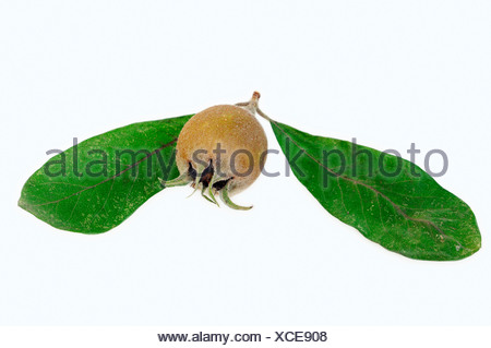 Medlar (Mespilus germanica), fruit and leaves - Stock Photo