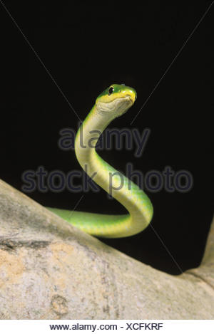 Green Snake, opheodrys major against Black Background - Stock Photo