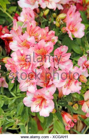 Peruvian lily Alstroemeria - Stock Photo