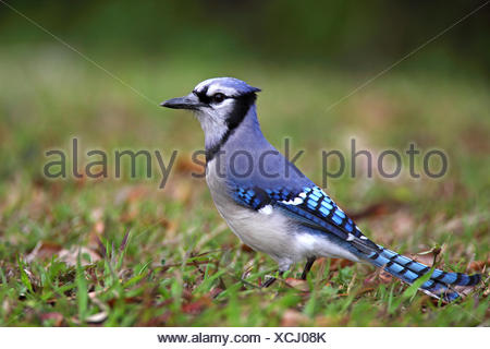 blue jay (Cyanocitta cristata), sits on the ground, USA, Florida, Everglades National Park - Stock Photo