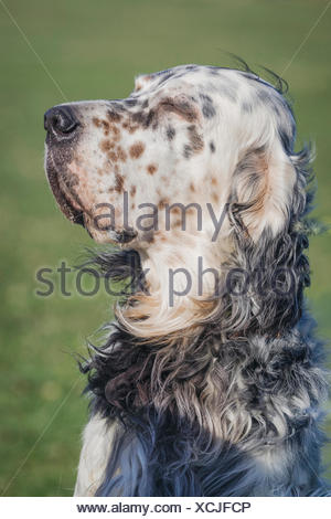 English Setter Portrait relaxed male, enjoying sun and wind at the fullest - Stock Photo