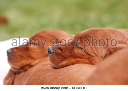 Irish Red Setter, Irish Setter (Canis lupus f. familiaris), two puppies sleeping on the back of their sibbling - Stock Photo
