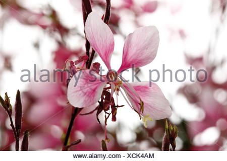 Gaura blossoms - Stock Photo