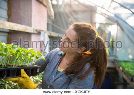 On the farm. A woman carrying trays of young organically grown seedlings, bean plants, out of a glasshouse. - Stock Photo