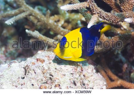 Bicolour angelfish Centropyge bicolor  Misool, Raja Ampat, West Papua, Indonesia - Stock Photo