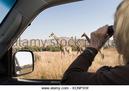 Safari vehicle with tourist, looking at giraffe through binoculars, Gauteng, South Africa - Stock Photo