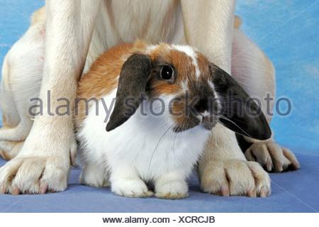 animal friendship : lop-eared dwarf rabbit between paws of a Labrador Retriever - Stock Photo