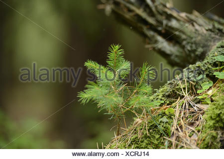 Young spruce, Picea abies, medium close-up, - Stock Photo