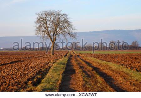 walnut (Juglans regia), single tree by the wayside in field landscape, Germany - Stock Photo
