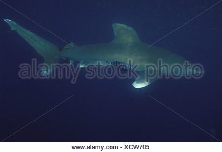 Weißspitzen Hochseehai Rotes Meer Hmata Aegypten - Stock Photo