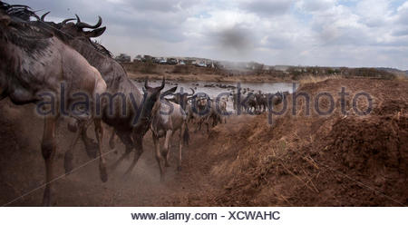 Eastern white-bearded wildebeest (Connochaetes taurinus) herd crossing the Mara River watched by tourists. Masai Mara National R - Stock Photo
