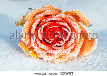 Frozen Rose (Rosa cultivar), hoarfrost covered blossom in snow - Stock Photo