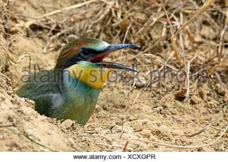 European Bee-eater (Merops apiaster), ready chick leaving the nest - Lower Doubs valley - France - Stock Photo