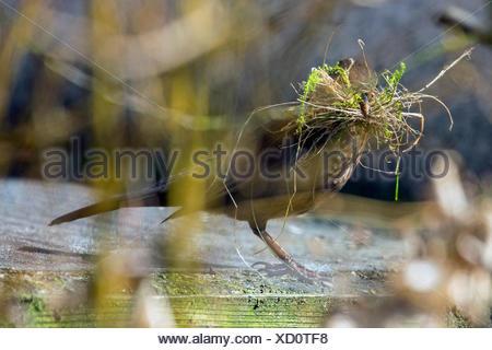 Amsel, Schwarzdrossel (Turdus merula), Weibchen sammelt Nistmaterial, Deutschland, Bayern, Niederbayern | blackbird (Turdus meru - Stock Photo