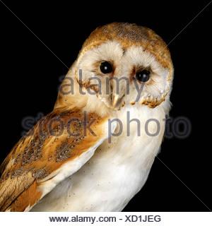 Baby Barn Owl - Stock Photo