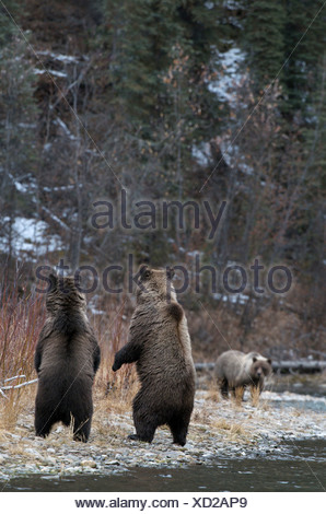 Grizzly Bear Ursus arctos standing-to locate - Stock Photo