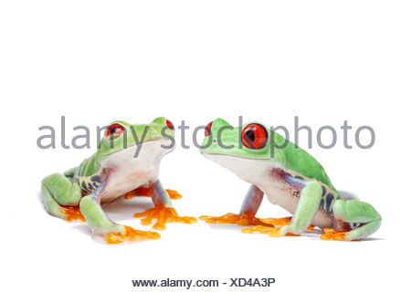 Two Red-eyed Tree Frogs (Agalychnis callidryas) - Stock Photo