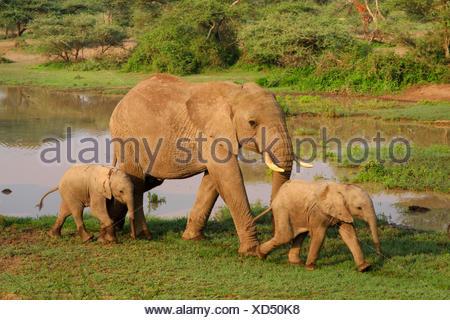 African elephant (Loxodonta africana), cow elephant with two calves at the waterhole, Tanzania, Serengeti National Park - Stock Photo
