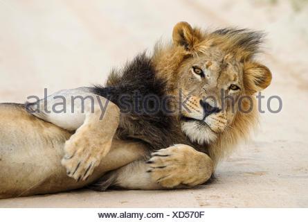 Lion (Panthera leo), black-maned Kalahari male, on road, Kalahari Desert, Kgalagadi Transfrontier Park, South Africa - Stock Photo
