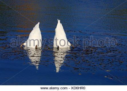 mute swan (Cygnus olor), two dabbling mute swans , Germany - Stock Photo