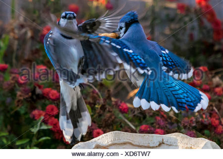 Two blue jays battle it out over peanut - Stock Photo